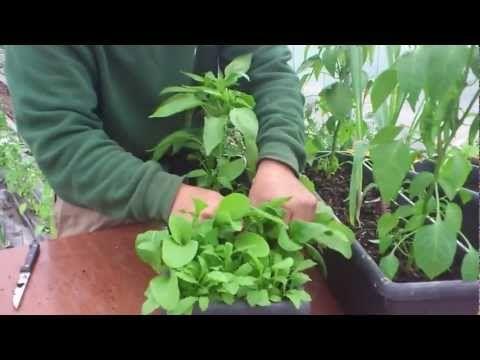 Cómo cosechar la rúcula//Balcón comestible//LlevamealhuertoTv - YouTube