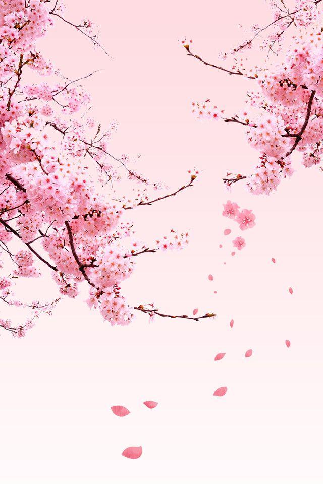 Vishnevyj Cvet Plakat Spravochnyj Material Cherry Blossom Art Cherry Blossom Wallpaper Cherry Blossom Wallpaper Iphone