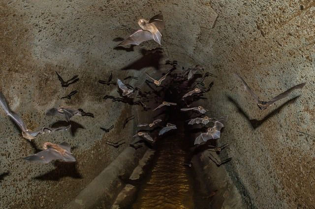 Where do vampire bats live? Vampire Bat Facts – Questions And Answers!