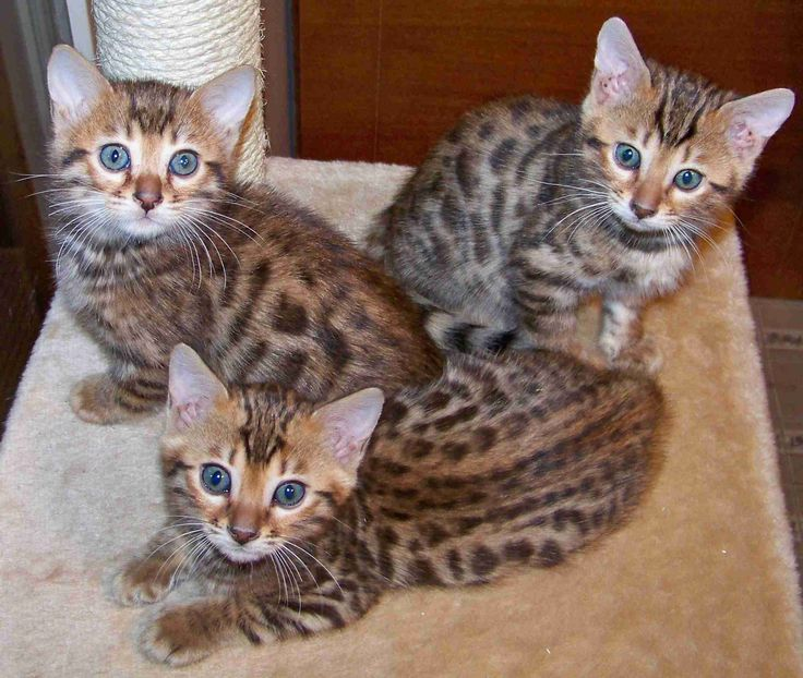 Bengal cats south africa price