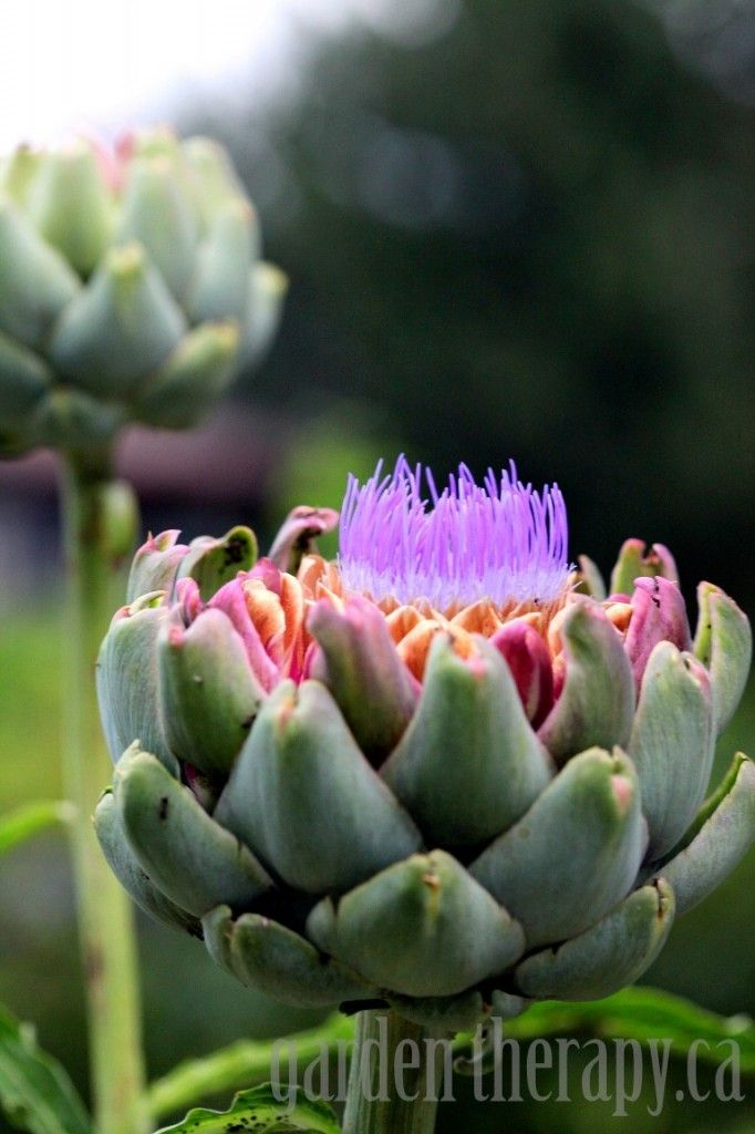 Artichoke Blooming