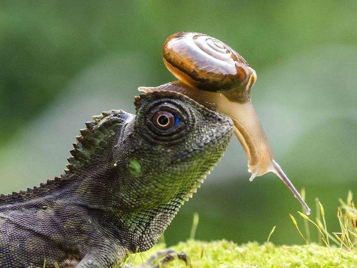 Улитка использует в качестве скоростного транспортного средства голову ящерицы, Джокьякарта, Индонезия. (Фото: Krisdian Wardana/Rex Features).