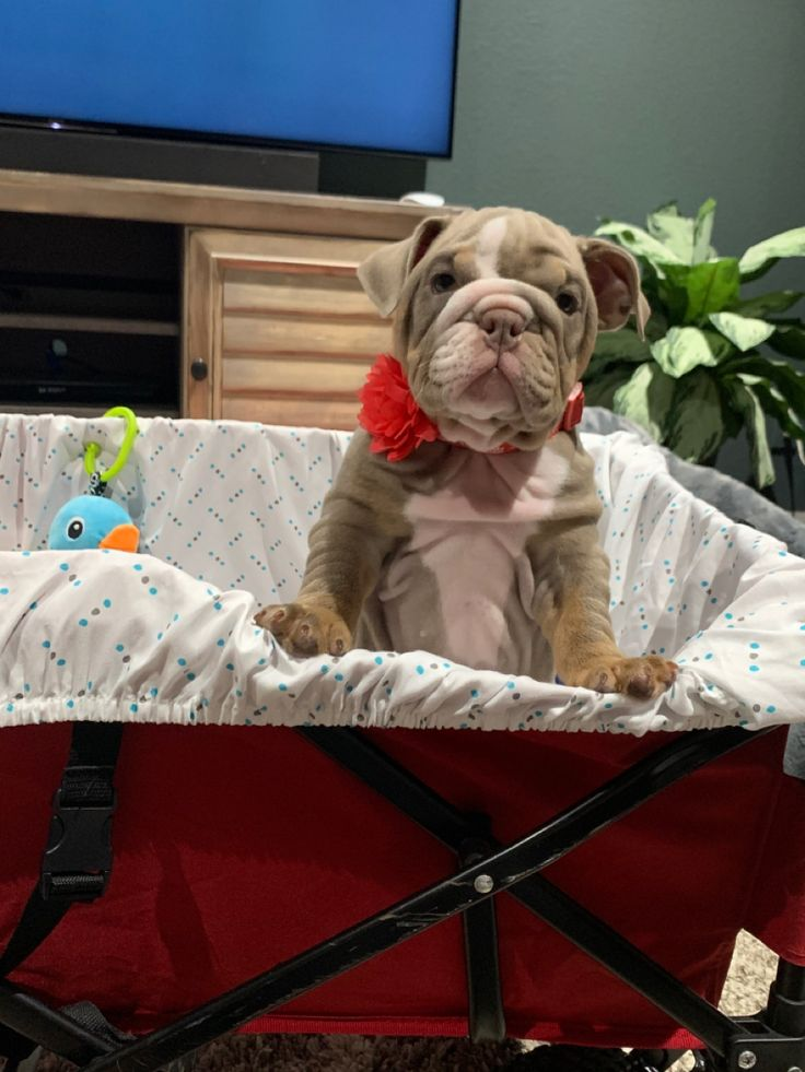 Oregon live puppies bulldog
