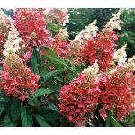 Hydrangea paniculata Pinky Winky® | White Flower Farm