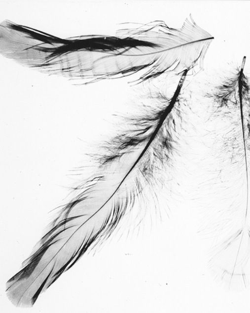 Feathers. Photogram