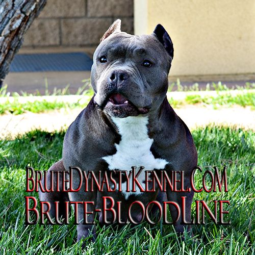 TRI COLOR XL BULLY PITBULLS & POCKET PITBULL PUPPIES FOR