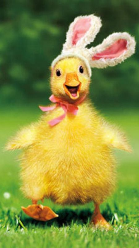 Details about Duckling Bunny Funny Easter Card - Greeting Card by Avanti Press