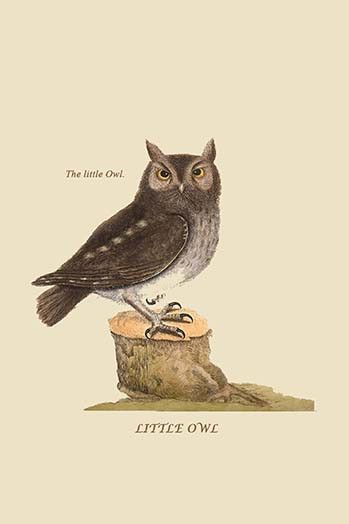 Little Owl. High quality vintage art reproduction by Buyenlarge. One of many rare and wonderful images brought forward in time. I hope they bring you pleasure each and every time you look at them.