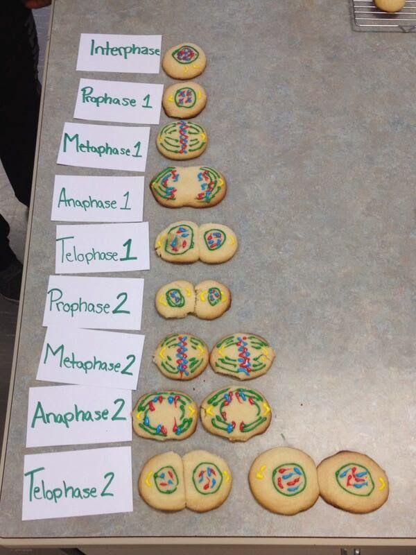 Stages of Meiosis using sugar-cookies and icing. Wonder if culinary would make the cookies for us!