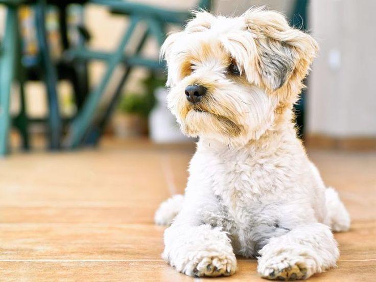 Den Hund stubenrein bekommen: So vermeiden Sie Missgeschicke – Foto: Shutterstock / robertopalace    www.einfachtierisch.de