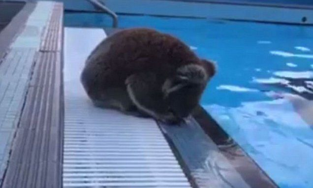 VIDEO: Is this guy koala-fied? Swimmers stunned by new pool lifeguard