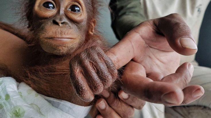 Group: Orangutan orphans a sign of habitat destruction