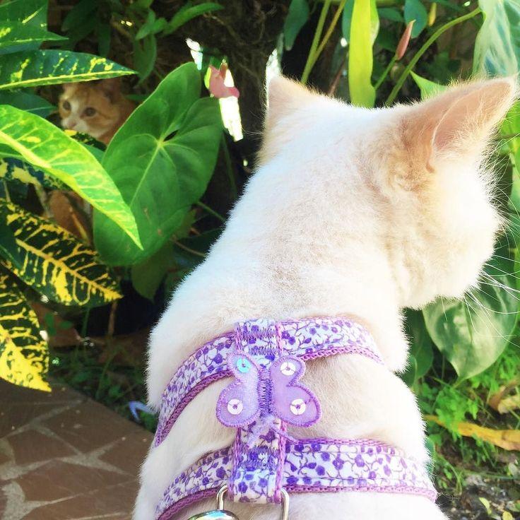 Sábado de jardim  #cat #cats #kitten #kittens #kitty #cute #cutest #funnie #funny #persian #persa #himalayan #himalaya #creampoint #lordaries #lordariescat #pet #pets #animal #animals