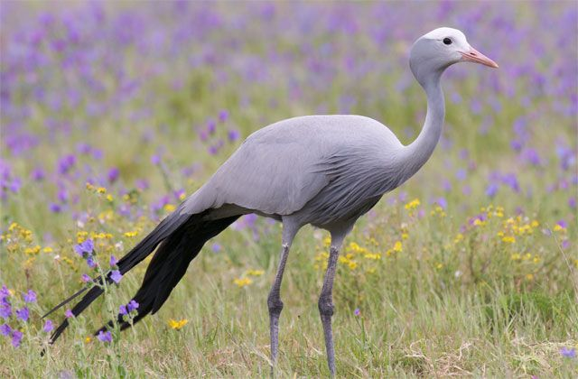Blue crane with purple flowers