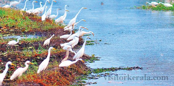 Migratory Birds Start Their Visit to Kumarakom