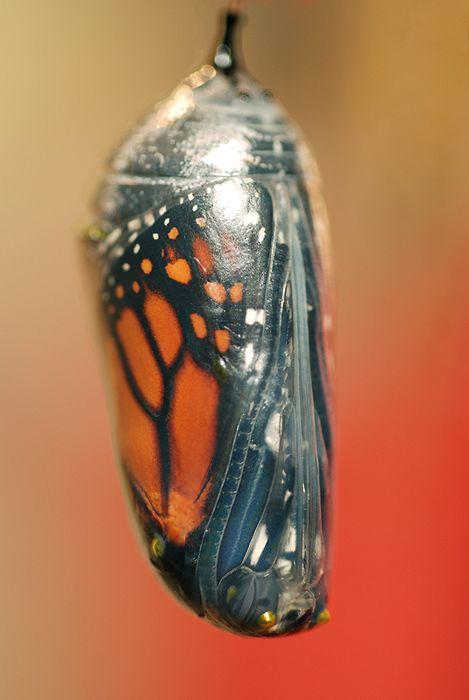 A Monarch Butterfly in it's chrysalis.