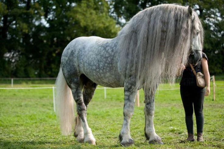 Qui a parlé de chevaux lourds à propos des percherons ?