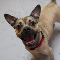 Pictures of Soleil a French Bulldog/Pug Mix for adoption in New Orleans, LA who needs a loving home.