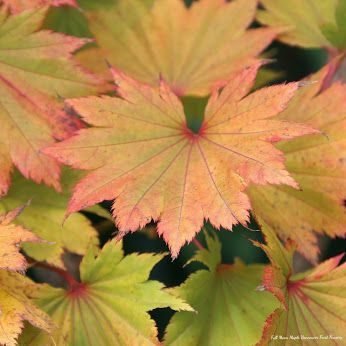 Golden Full Moon Maple  Acer Shirasawanum Aureum Slow growing tree with chartreuse colored leaves emerge in spring turning to burnt orange with scarlet tipped edges in fall. Plant in partial shade to protect the foliage from burning in Vancouver landscapes.