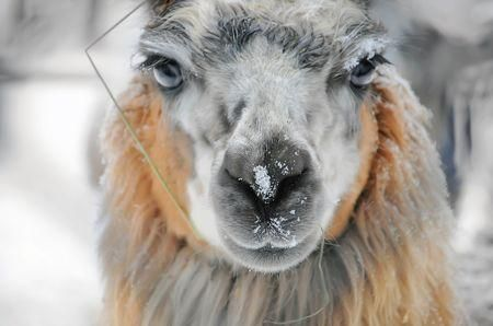 Learn all you wanted to know about llamas with pictures, videos, photos, facts, and news from National Geographic.