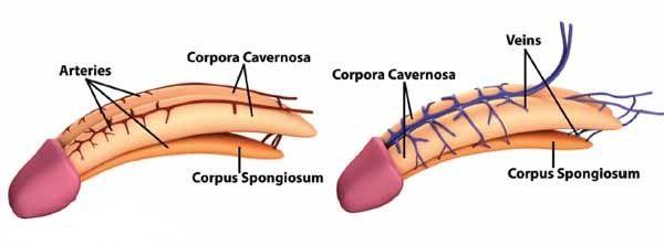 penis blood flow