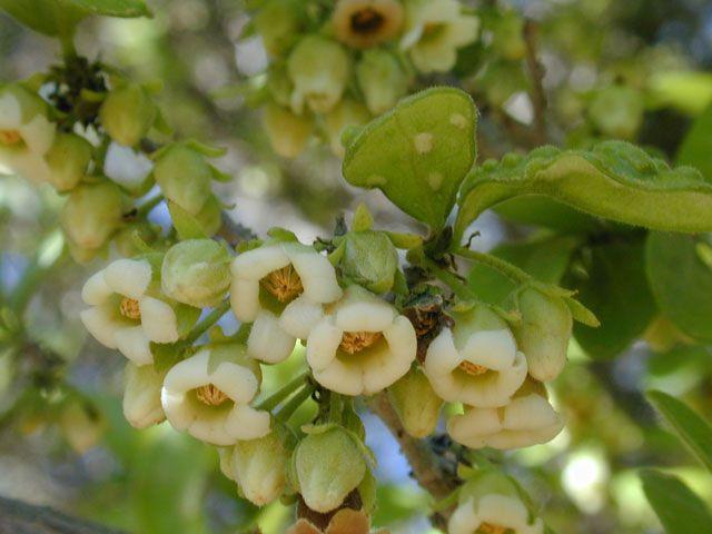 Diospyros texana (Texas persimmon) | Image Gallery #13181 ...