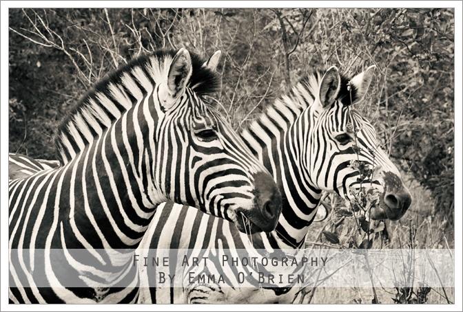 Zebra  http://emmaobrien.com