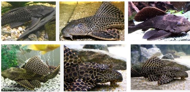 63 best images about aquarium on pinterest malawi for Types of white fish to eat