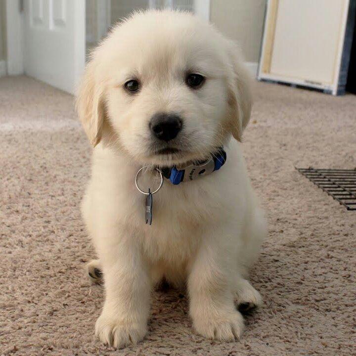 Bildergebnis für cachorros golden