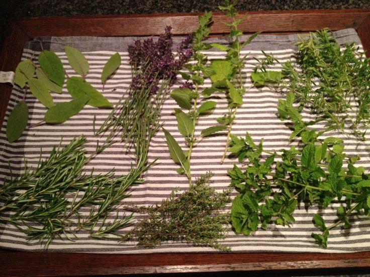 Kruidenoogst. Salie, Lavendel, Citroenmelisse, Bonenkruid, Rozemarijn, Tijm en Munt.