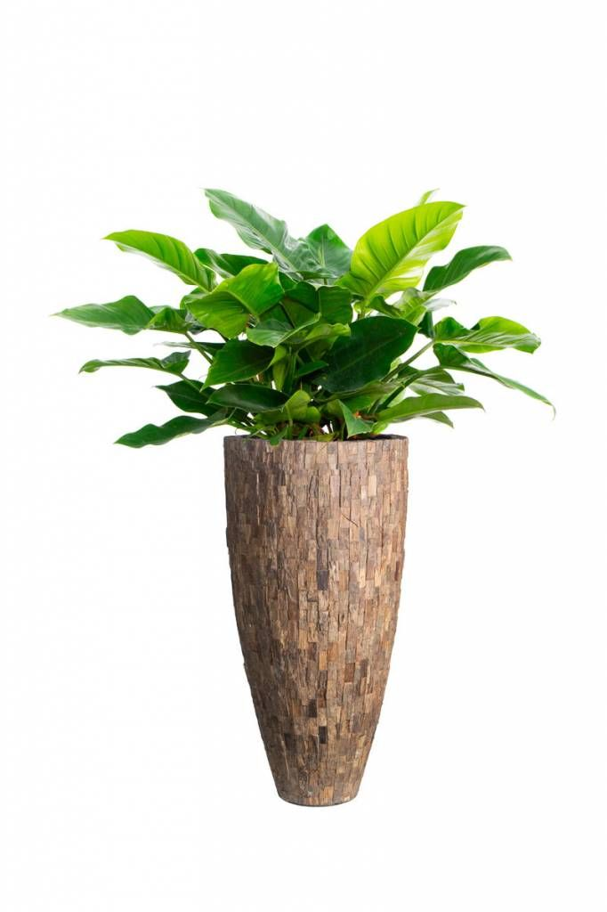 Planters for life Vase Cemani Wood - Philodendron Imperial Green
