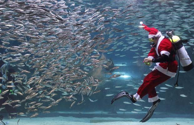 A South Korean diver clad in Santa Claus costume swims with sardines at The Coex Aquarium on December 8, 2012 in Seoul, South Korea. Even though the official religion of South Korea is Buddhism, about 30 percent of it is Christian and Christmas is one of the biggest holidays to be celebrated in South Korea. #cubaDiverLife
