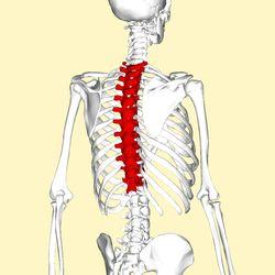 Thoracic vertebrae back3.png Kręgi piersiowe