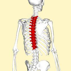 Position of the thoracic vertebrae (shown in red). In human, thoracic vertebrae consists of 12 bones. From top to down, T1, T2 ... T12.