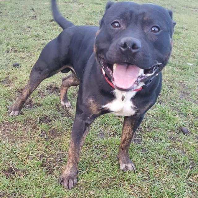 Dezzy 2 Year Old Male Staffordshire Bull Terrier Dog Adoption Dogs Staffordshire Bull Terrier