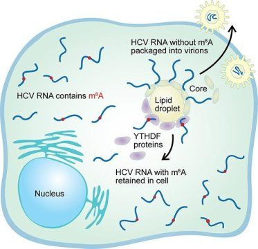 Chemical tags affect ability of RNA viruses to infect cells: Similar controls found in Hepatitis, Zika, Dengue, Yellow Fever  #infectiousdiseases #liverdisease #MicrobesandMore #VIROLOGY #Viruses #ZikaVirusResearch Check more at https://scifeeds.com/social-media-item/chemical-tags-affect-ability-of-rna-viruses-to-infect-cells-similar-controls-found-in-hepatitis-zika-dengue-yellow-fever/