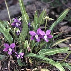 Viola betonicifolia - Australian native violet. Shade loving groundcover.