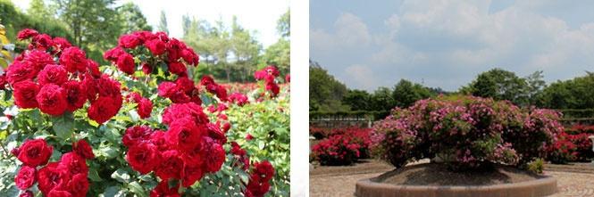 Okayama 岡山(おかやま) 岡山農業公園 ドイツの森 バラ園  ヨーロッパ風のバラ園。 ヨーロッパ風バラ園のメイン。 四季折々の花と、バラがうまく調和して、鮮やかな光景で楽しませてくれます。 見ごろ予想:6月下旬 (天候や気温により開花状況が前後する場合がございます)