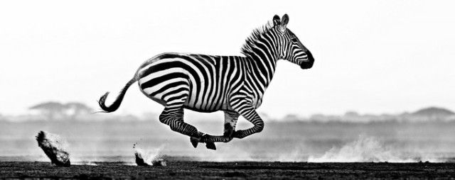 Black And White Animal Portraits  David Yarrow is a 48 years-old Scottish photographer who now lives in England. His work is mainly directed towards the animal photography in black and white. Here is a selection of some of his best portraits extracted right out of the most wildlife.