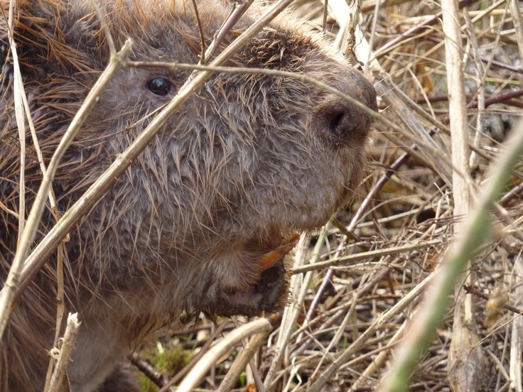 Beaver shot, up close.  Millingerwaard, Netherlands