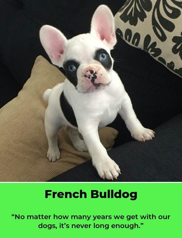 Francuski Buldog Buldog French Bulldog Puppies Dogs Bulldog