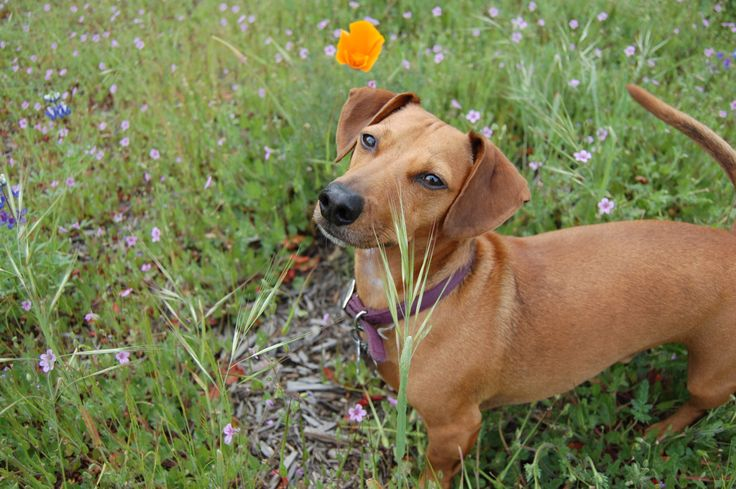 This is Oliver, he is a Dachshund Jack Russell mix, and loves running in the grass