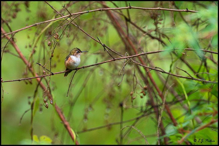 Scintillant Hummingbird, Costa Rica