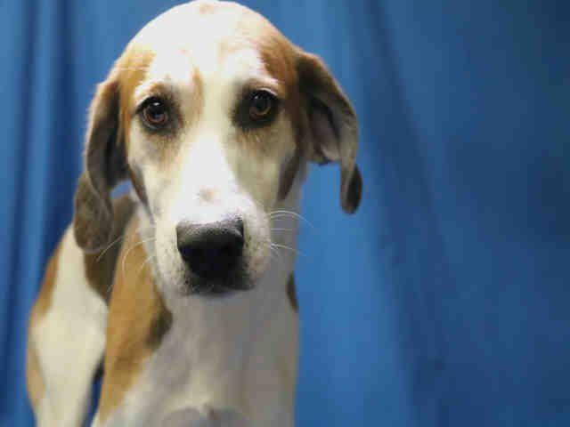 Treeing Walker Coonhound Dog For Adoption In Ocala Fl Adn 804395