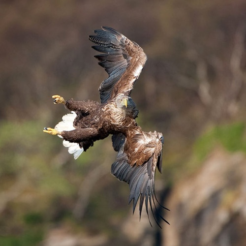 "A white-tailed sea eagle puts on an impressive mid-air display as it appears to fly almost sideways. The bird's acrobatic maneuvers were captured by 16-year-old self-taught wildlife photographer Will Nicholls while on a trip to the Isle of Skye in Scotland. The young snapper won ""Young British Wildlife Photographer of the Year"" at the age of 14. Picture: Will Nicholls / Rex Features (via Pictures of the day: 1 November 2011 - Telegraph)"