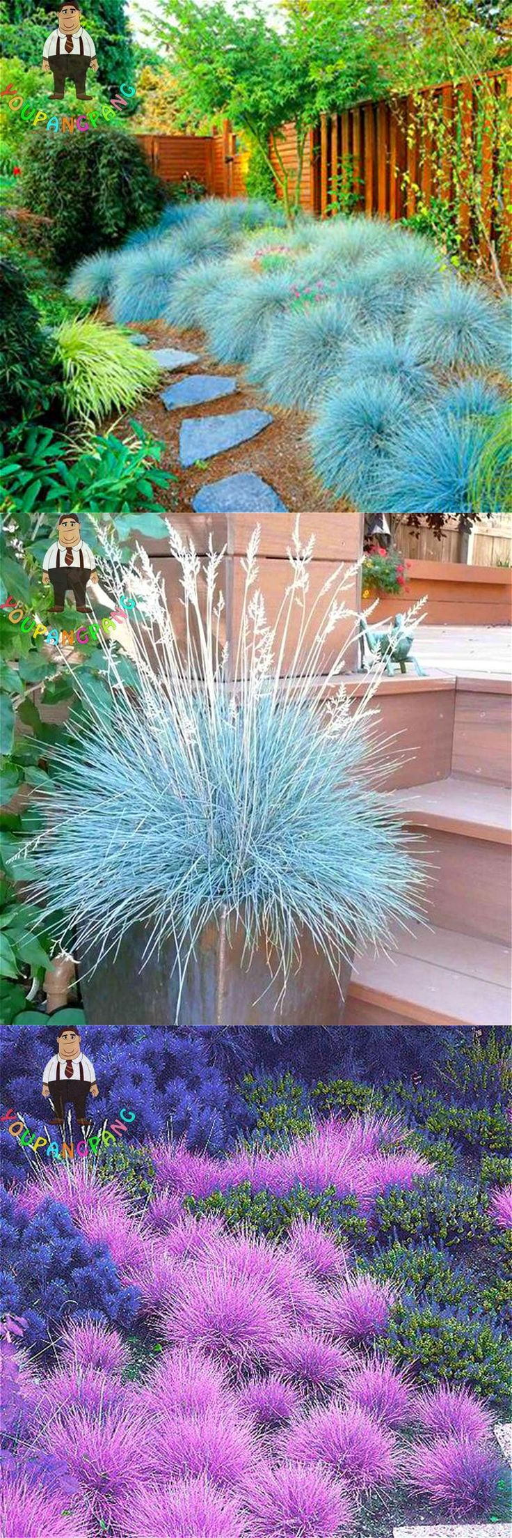 [Visit to Buy] 100 Graines Blue Fescue Grass Seeds Indoor Garden Festuca Glauca Perennial Hardy Ornamental Plants Easy To Grow Seed * Sementes #Advertisement