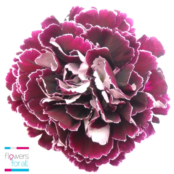 This flower express more than a thousand words. Our bicolor purple carnation is stunning, available at flowersforall.com.