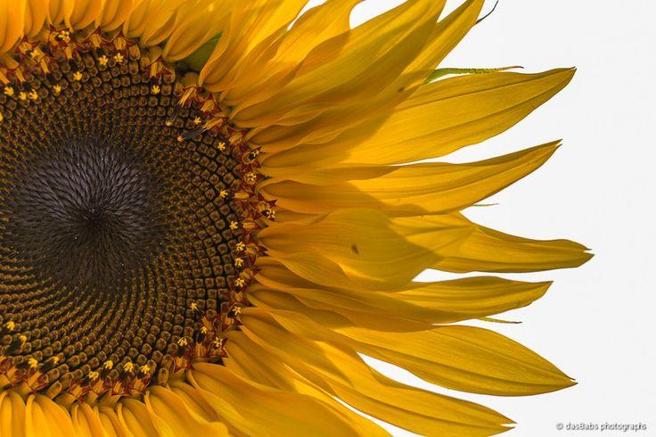 Sonnenblume by Babs Helferich on 500px