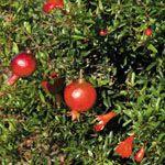 Granaatappel 'Nana' - Fruitbomen.net Mobiel