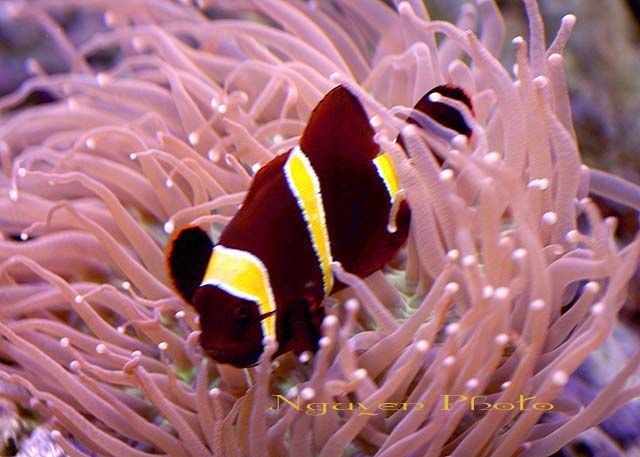pink tip anemone and clownfish relationship